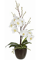 Spring Bloom Potted White Orchid