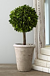 Potted_Boxwood_Collection